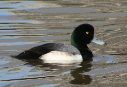 Greater_scaup_male