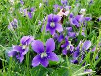 violets 4-06